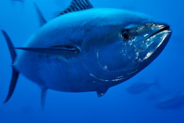 Bluefin_1jpg